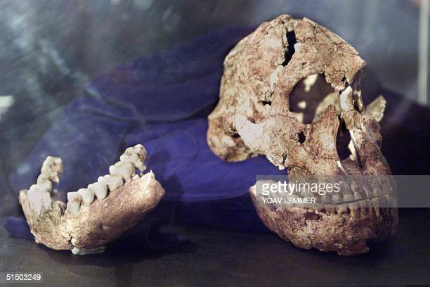 The most complete skull of a Australopithecine ever found in Africa is unveiled 26 April 2000 in Johannesburg The skull and a lower jaw were...
