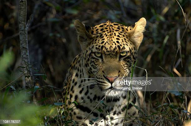 the most powerfull predator - a male leopard - leopard stock photos and pictures