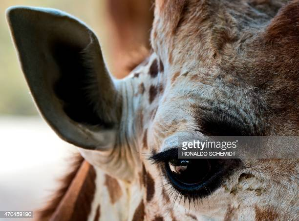 The mother of a 39dayold giraffe is pictured at the Chapultepec zoo in Mexico City on April 20 2015 AFP PHOTO/RONALDO SCHEMIDT