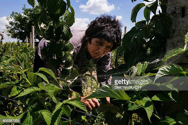 The mother of Bulgarian organic farmer Nadya Petkova picks raspberries at their farm near the southern village of Trud on July 5 2016 While national...