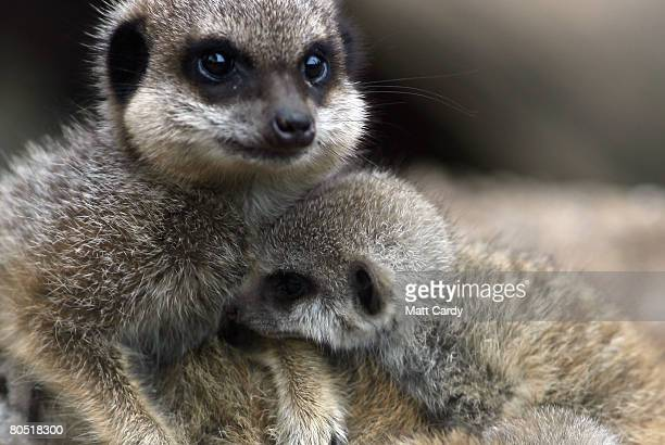 The mother of the three baby meerkats plays with one of them in her enclosure at Bristol Zoo on April 4 2008 in Bristol England The fourweekold new...