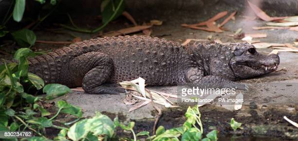 The mother of Whipsnade Wild Animal Park in Bedfordshire's latest newborns three West African Dwarf crocodiles who have made their first public...