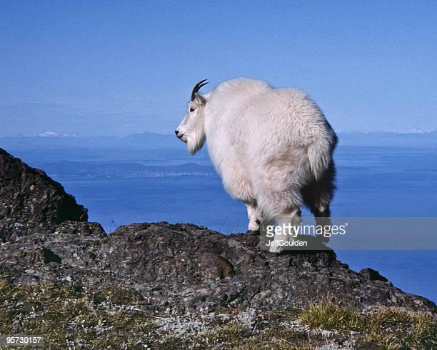 Mountain Goat on a Ridge