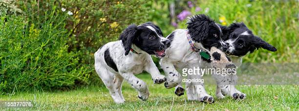 the mugging! - springer spaniel stock photos and pictures