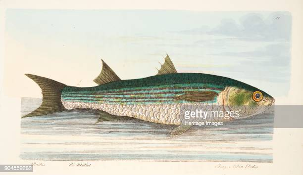 The Mullet from A Treatise on Fish and Fishponds pub 1832