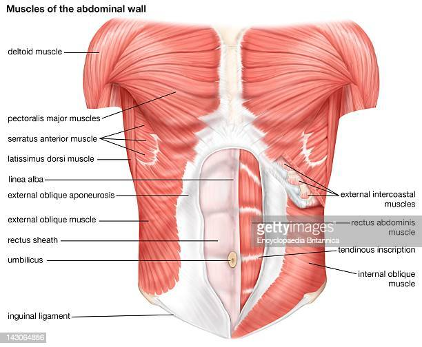 Deltoid Stock Photos And Pictures Getty Images