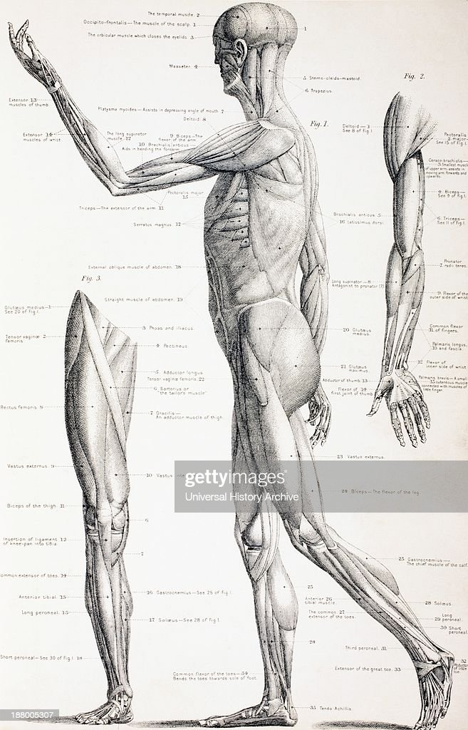 The Muscles Of The Human Body From The Household Physician
