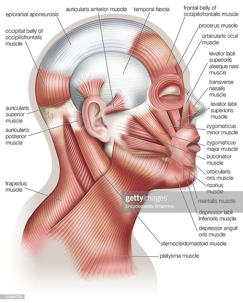 The Muscles Of The Human Head Used In Facial Expression