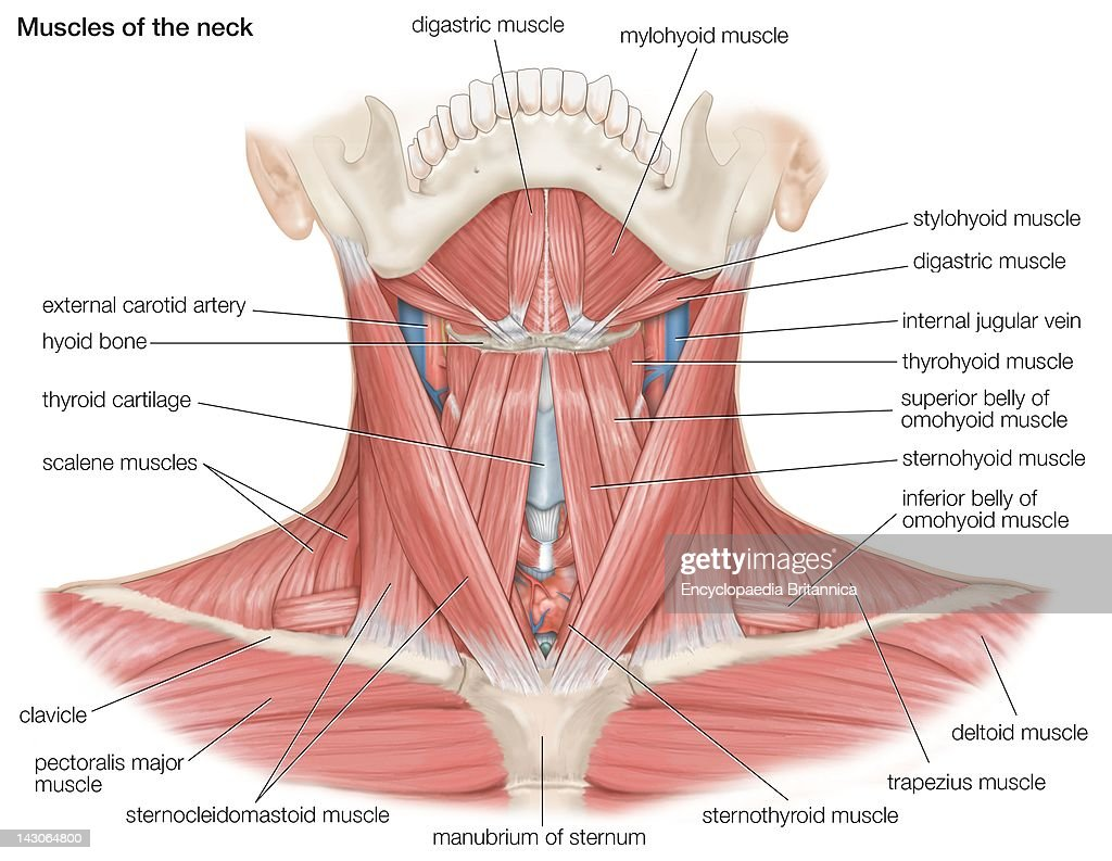 The muscles of the human neck as well as the major bones and blood the muscles of the human neck as well as the major bones and blood vessels ccuart Image collections