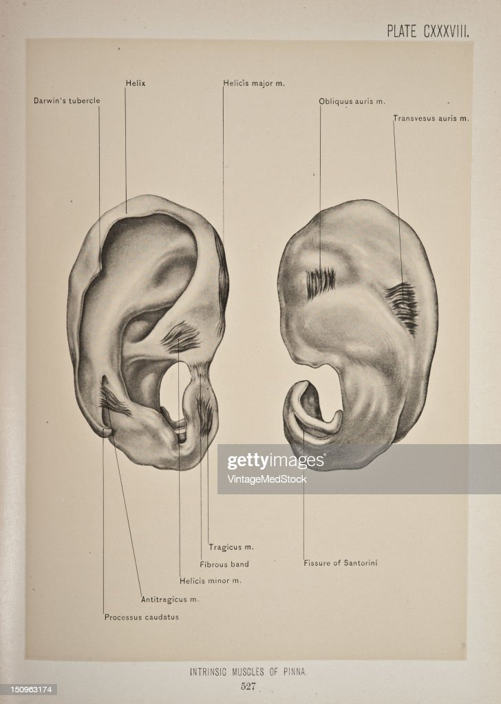 Intrinsic Muscles Of The Pinna Pictures | Getty Images