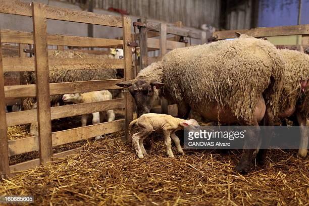 The Mysterious Schmallenberg Virus Kills Our Lambs Le virus de Schmallenberg du nom de la ville d'Allemagne où il a été repéré pour la première fois...