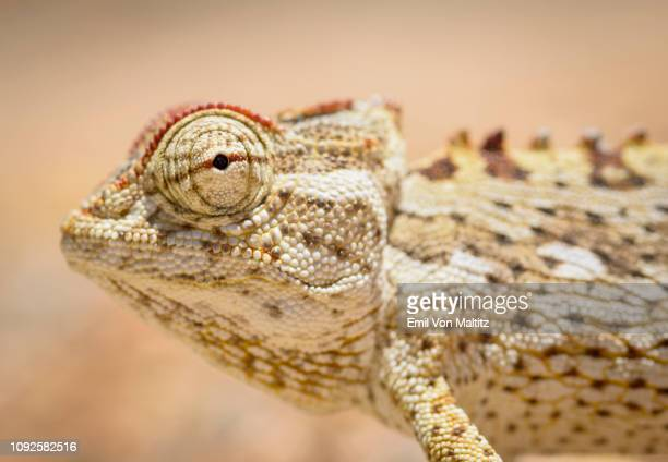 The Namaqua chameleon (Chamaeleo namaquensis) is a ground-living lizard found in the western desert regions of Namibia, South Africa and southern Angola. Namib-Naukluft National Park