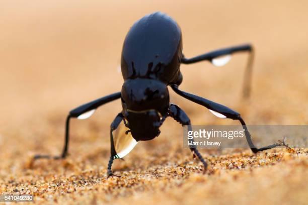The Namib Desert beetle (genus Stenocara) fog basking