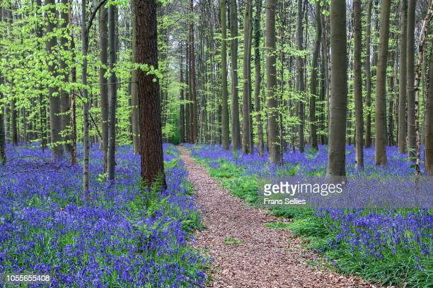 The narrow path through the Forest of Halle (Hallerbos) with bluebell flowers, Halle, Belgium