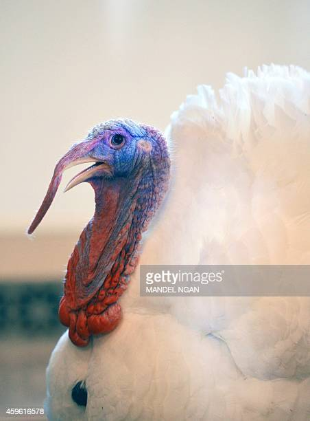 The national Thanksgiving turkey 'Cheese' is seen ahead of the annual Thanksgiving turkey pardon ceremony in the Grand Foyer of the White House on...