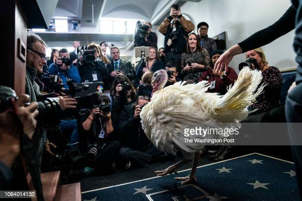 The National Thanksgiving Turkey is presented in the Brady Press Briefing Room before the pardoning ceremony at the White House on Tuesday Nov 20...