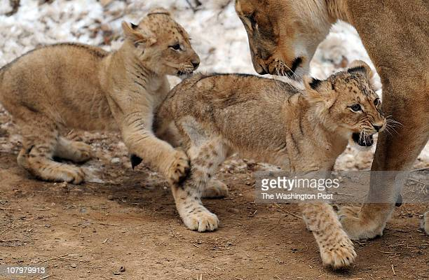C DECEMBER 18 2010 The National Zoo reveals the names of its seven lion cubs The names were determined from various sources including a public naming...