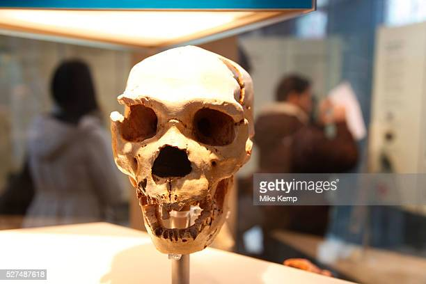 The Natural History Museum London A Neanderthal human skull
