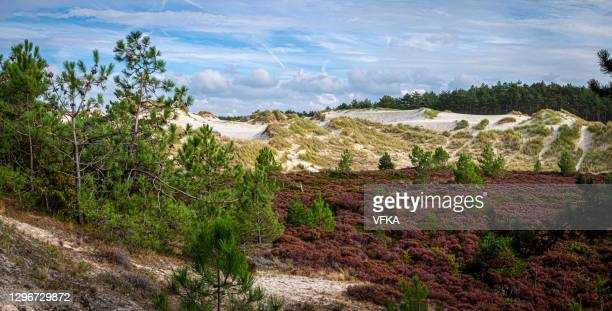 the nature reserve of the dunes of schoorl, north holland, netherlands - north holland stock pictures, royalty-free photos & images