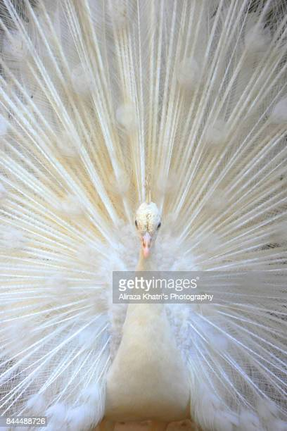 The nature's proud White peacock