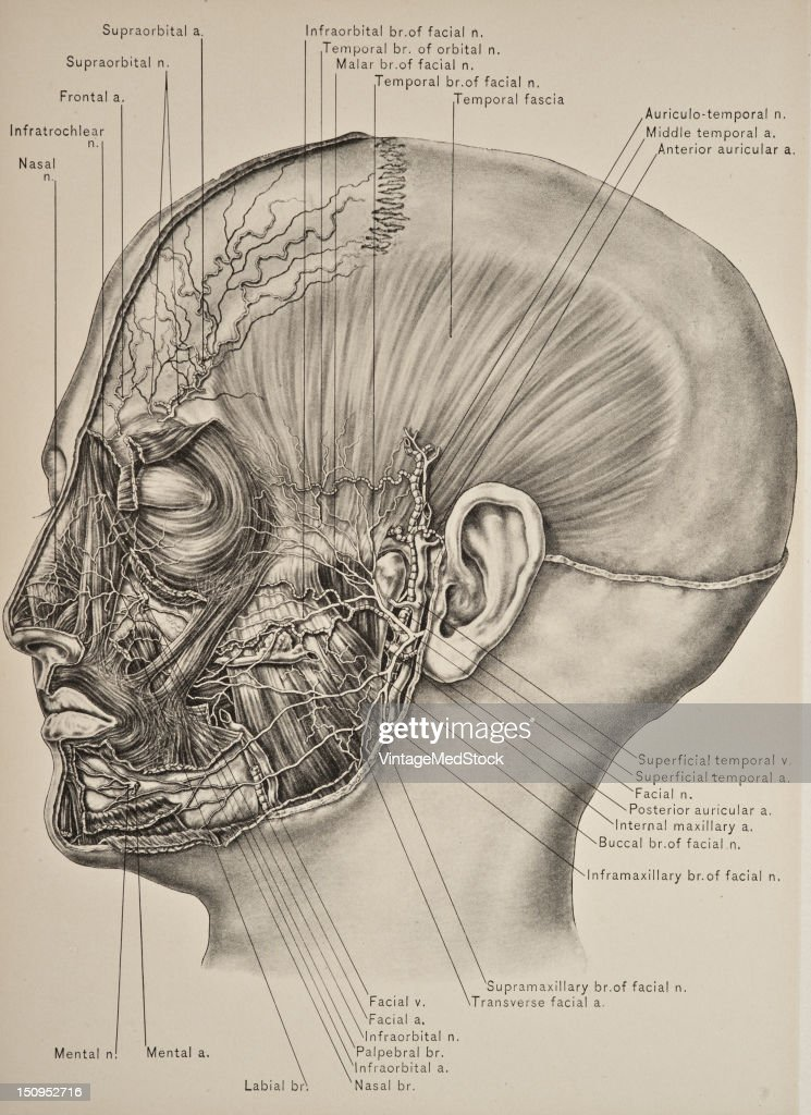 Temporal Fascia Nerves Of The Face Pictures Getty Images