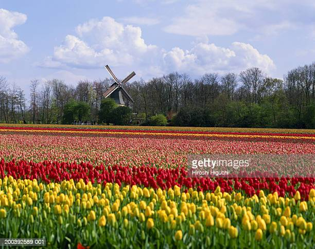 the netherlands, holland, keukenhof, windmill in tulip field - keukenhof gardens stock pictures, royalty-free photos & images