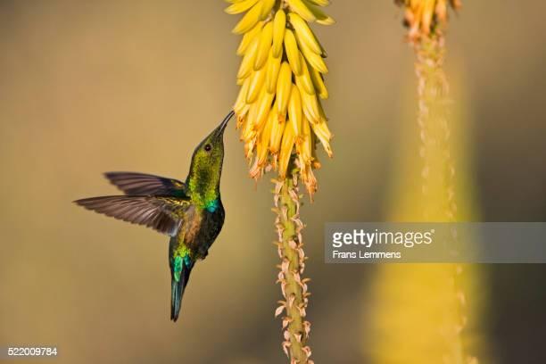 the netherlands, oranjestad, sint eustatius island, dutch caribbean. green throated carib hummingbird ( eulampis holosericeus ). - oranjestad stockfoto's en -beelden