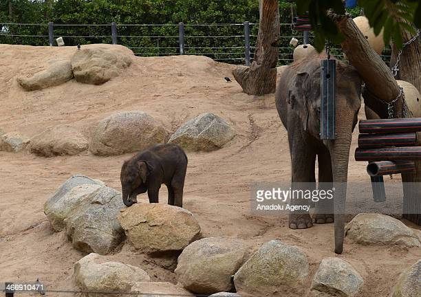 """The new calf has been named Man Jai, which means """"confident"""" in Thai in Melbourne, Australia on February 5, 2014. Born at an impressive 131kg, Man..."""