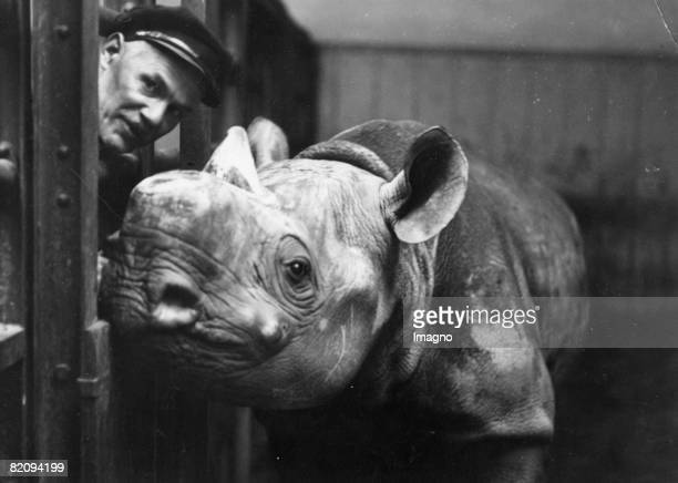 The new rhinoceros of the menagerie at Schoenbrunn palace with a value of 40,000 shillings, Photograph, Around 1935 [Das neue Nashorn der...