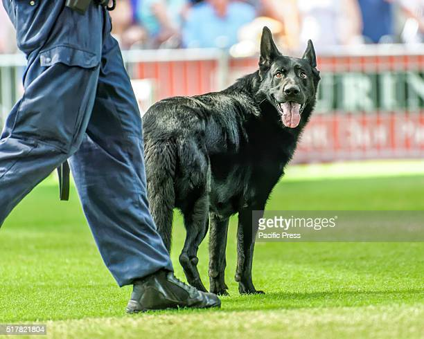 SHOWGROUND SYDNEY NSW AUSTRALIA The New South Wales Police Dog Unit displayed specialist general purpose drug firearms/explosive detection police...