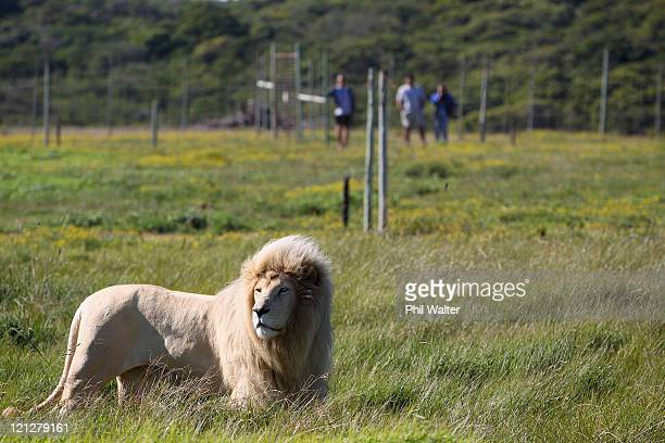 The New Zealand All Blacks view a White Lion during a visit to the Seaview Lion Park on August 17 2011 in Port Elizabeth South Africa