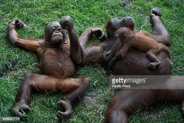 The newborn Bornean orangutan her mother Surya and her brother Sungay pictured resting in sadow at Madrid zoo where high temperatures reached up 38ºC...