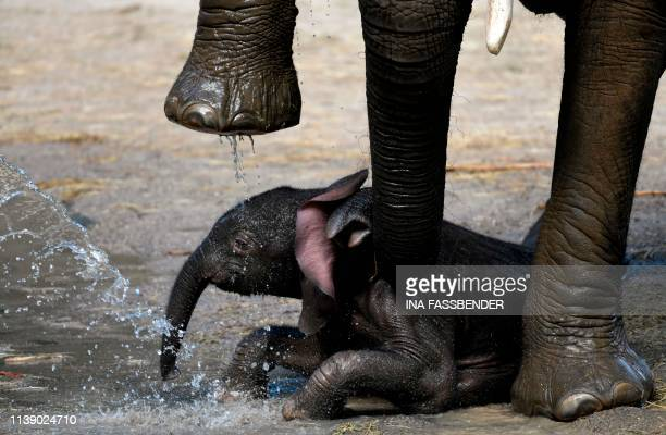TOPSHOT The newborn elephant calf 'Gus' lies under his mother 'Sabie' as a zookeeper showers him in the zoo of Wuppertal western Germany on April 24...