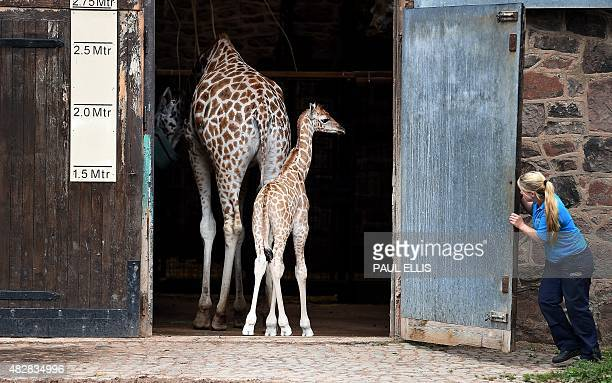 The newest addition to the giraffe enclosure Kidepo walks back into its pen as the zoo show off the three calfs born at the zoo within eight months...