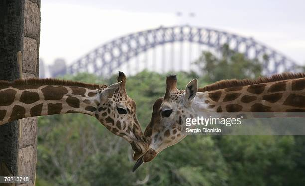 The newest member of Taronga's Giraffe herd 'Jimiyu' meets the herd after arriving at Sydney's Taronga Zoo on August 22 2007 in Sydney Australia The...