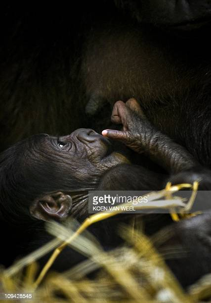 The newlyborn babygorilla drinks from his mother's breast Gyasi in the Apenheul in Apeldoorn on February 25 2011 The baby gorilla daughter of gorilla...