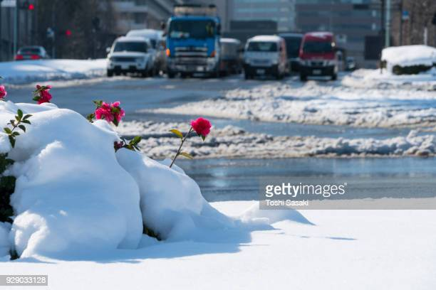 The next morning of winter snowstorm at Chiyoda-ku Tokyo Japan – January. 23 2018. Snow wraps up the pink flowers of a shrubbery at median of road. City traffic goes through the wet thaw road behind the snowy flowers.