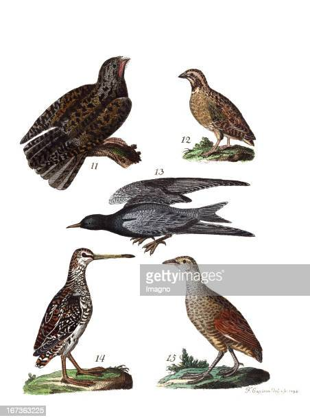 The Nightjar the Common Quail the Swallow the Common Snipe and the Corn Crake or Landrail Lithography From Die Vier Jahreszeiten in bildlicher und...