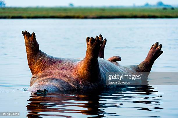 The Nile Crocodile swims by a dead male Nile Hippopotamus floating on its back in a wetland.