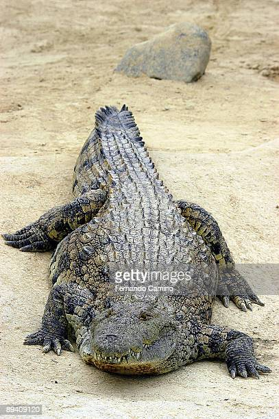 The Nilo Crocodile can reach 7m long and to weigh to 600 Kg