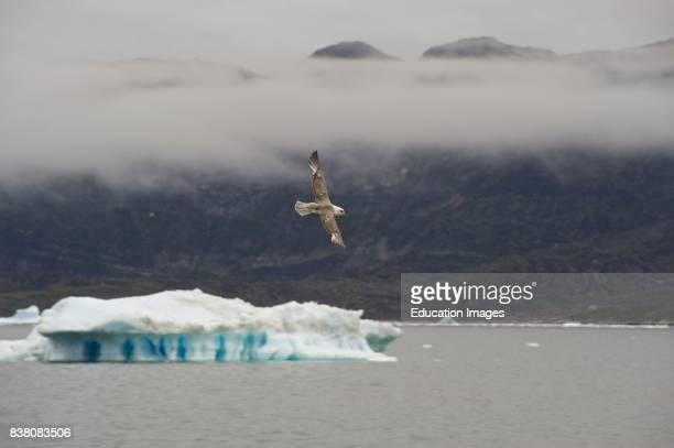 The northern fulmar is common all over Greenland also in the Disko bay area and around Ilulissat ice fjord where this specimen was photographed