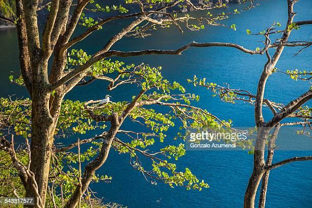 the northern gannet on the tree. - northern gannet stockfoto's en -beelden