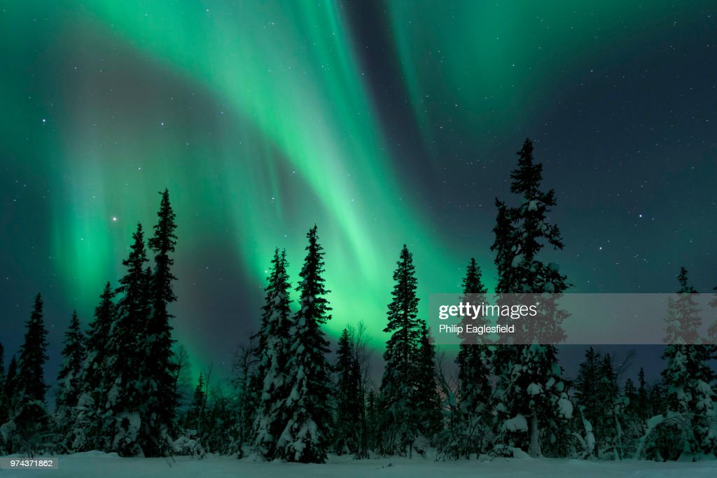 The Northern Lights above snow covered pine trees in winter, Lapland, Finland. : Stock Photo
