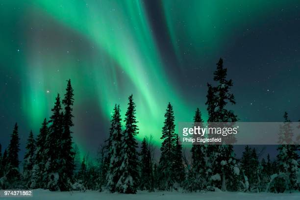 The Northern Lights above snow covered pine trees in winter, Lapland, Finland.