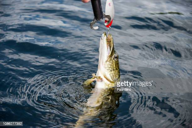 the northern pike (esox lucius), danube delta, romania - northern pike stock photos and pictures