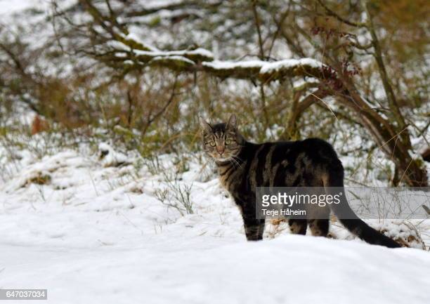 the norwegian forest cat in snow - norwegian forest cat stock photos and pictures