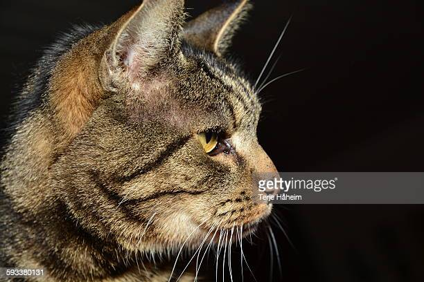 the norwegian forest cat - norwegian forest cat stock photos and pictures
