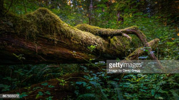 the nurse log - fallen tree stock pictures, royalty-free photos & images