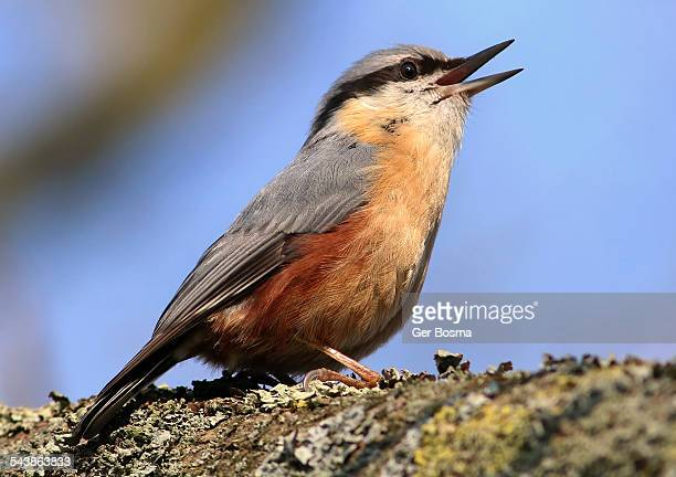 the nuthatch singer - animal call stock pictures, royalty-free photos & images