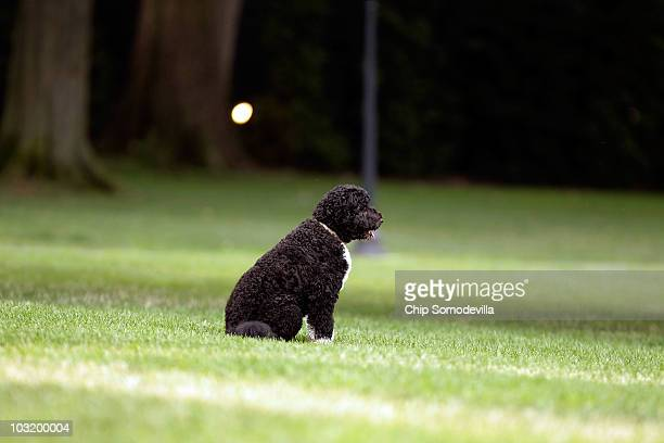 The Obama family dog a Portuguese water dog named Bo sits on the South Lawn August 2 2010 in Washington DC Bo was out for a walk before President...